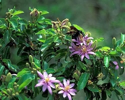水蓮木【進口花卉】 - 鋤頭與筆的對話